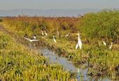 Egrets, herons, and other birds feast in a wild rice field in the Yolo Bypass. (Photo by Trina Wood)