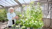 Peggy Lemaux in a greenhouse with tobacco plants.