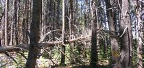Overcrowded forests are common in the Sierra Nevada. for Green Blog Blog