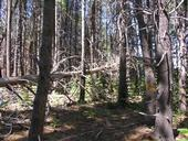 Overcrowded forests are common in the Sierra Nevada.