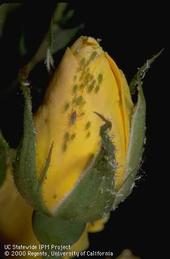 Horticultural oils can be used to control aphids on roses.