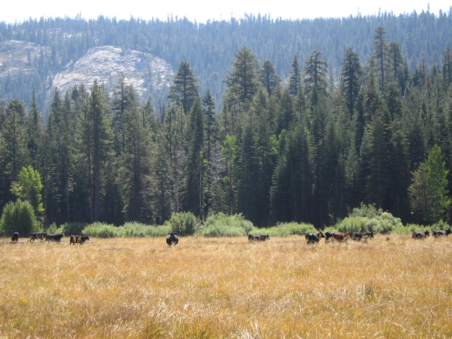 Cattle graze a meadow in Plumas National Forest. Credit: Anne Yost/USDA Forest Service.