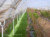 Planting cover crops in tunnel anchor rows reduces the use of herbicides.