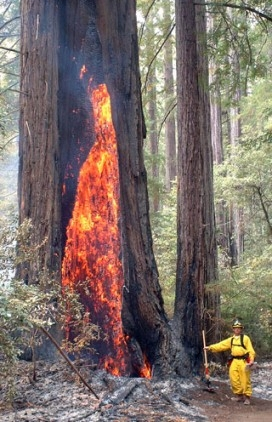 Fire consumes a once-healthy California redwood tree. (photo: USFS)