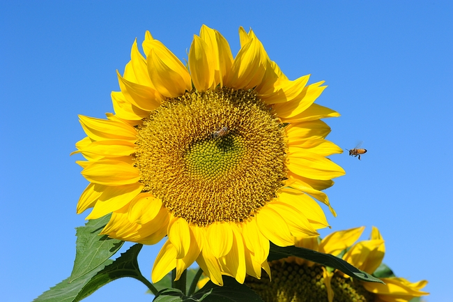 sunflowerbeeinflightKKG