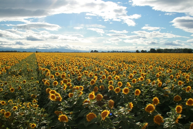 SunflowerField1TB