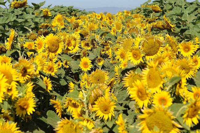 sunflowerfieldmaleKKG4