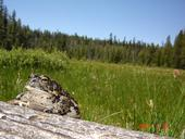 An adult Yosemite toad sits on a log with green grass and trees in the background