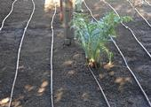 An artichoke in the drip grid. This area is ready for planting. (Photo by Kathy Keatley Garvey)