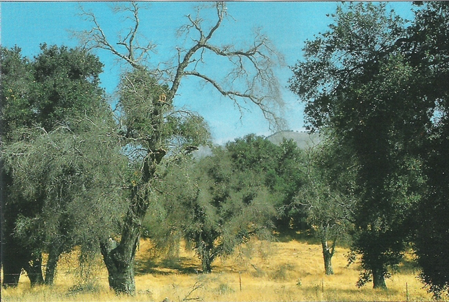 Along with insects and disease, the drought of 1987-1992, was apparently contributed to the decline and death of these California live oak trees.