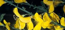 Scotch broom: A beautiful plant, but a forest nightmare. for Green Blog Blog