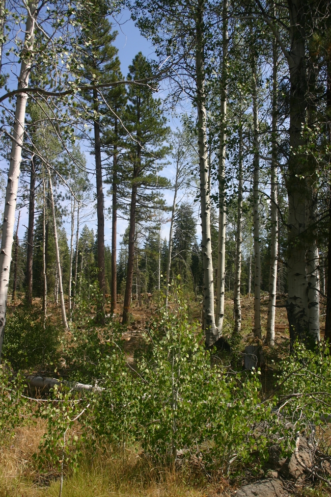 New aspen saplings are growing in a forest where conifers where harvested.