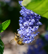 A honeybee searches for nectar on ceanothus.