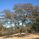 Oak tree stressed by drought. Photo by Larry Costello
