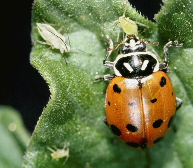 lady bugs need special care to control aphids in the garden green