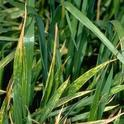 The yellow lesions on wheat leaves are a symptom of stripe rust.