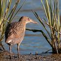 The California clapper rail — a bird found only in the bay — has come to depend on an invasive salt marsh cordgrass for nesting habitat. (Photo: Robert Clark)
