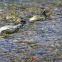 Clear Lake hitch spawning in Adobe Creek. (Photo: Richard Macedo, California Department of Fish and Wildlife)