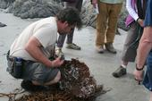 California Naturalist Scott Van Tyle takes a close look at a sea kelp rootball on the beach at Asilomar.
