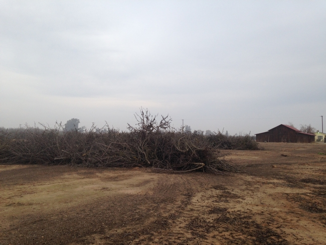 When preparing to replant an orchard, farmers typically push together the old trees and burn them. UCCE advisor Brent Holtz is research alternatives.