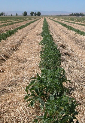 Higher soil carbon was found in plots where cover crops were planted in the winter and the soil was not tilled