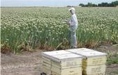 A researcher counts honeybees in a blooming onion field.