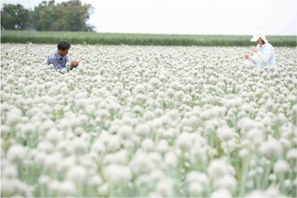 An onion field in full bloom was the site of UC ANR research.