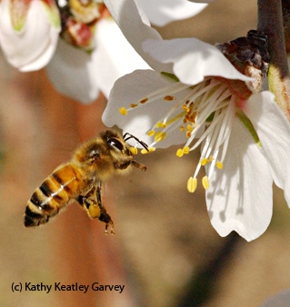 Honey bee pollinating almond blossom. (Photo by Kathy Keatley Garvey)