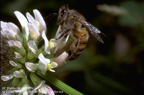 An adult honey bee on a white clover blossom.