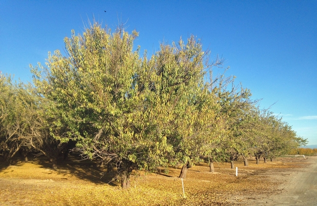 Salt accumulation in almond trees' root zone is a sleeping dragon, says UCCE advisor David Doll.