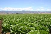 Lettuce field near Salinas, CA