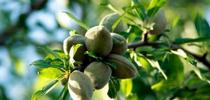 These almonds are still in the hull on the tree. Using the orchard biomass, hulls and shells for renewable power generation, soil amendment and dairy feed reduces the carbon footprint. for Green Blog Blog
