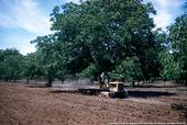 Trees, like this walnut orchard, store carbon.