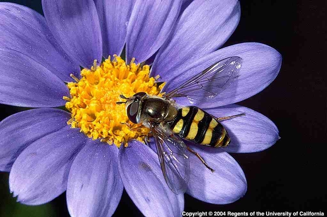 Syrphid fly adult feeding on pollen and nectar.