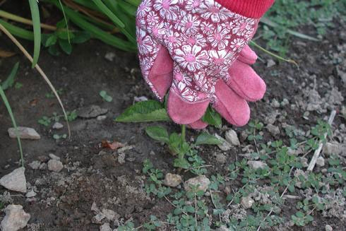 Hand-weeding is the best option in areas where other plants are growing.