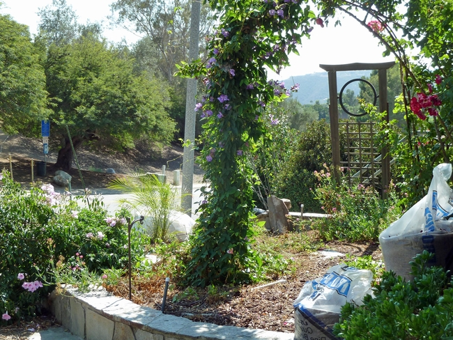 UC Master Gardener Mary Steele's front yard, which is irrigated with laundry water.