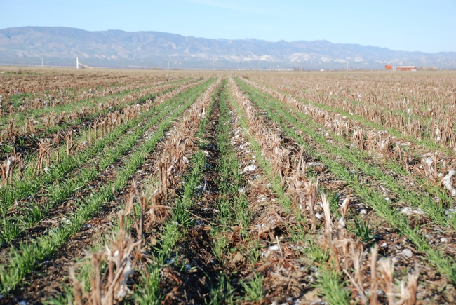 Farms using conservation agriculture practices ready to weather El Niño.