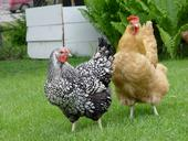 Backyard chickens are susceptible to avian flu spread by birds migrating on the Pacific flyway. (Photo: Wikipedia)