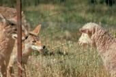 Good fencing is one tool that allows coyotes and sheep to share the open range.