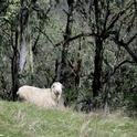 A ewe and her lamb at the UC Hopland Research and Extension Center. (Photo: Robert Keiffer)