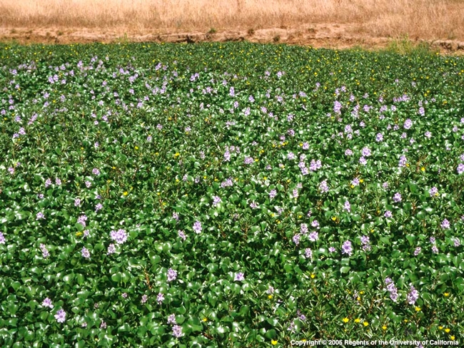 A perfect example of invasive damage was the recent invasion of water hyacinth , Eichhornia crassipes (Mart.) Solms, in the waterways of Stockton, Calif. Photo credit: Joseph DiTomaso ©UC Regents