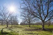If the current trend of warmer winters continues in Yolo County, chill hours may be insufficient for many walnut varieties by the year 2100.