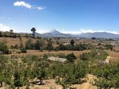 Peach trees in the highlands of Guatemala with a view of the Santa Maria Volcano in the distance.