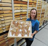 UC Davis entomology graduate student Jessica Gillung holds a tray of Atlas moths at the Bohart Museum of Entomology. (Photo by Kathy Keatley Garvey)