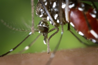 Aedes aegypti mosquito.