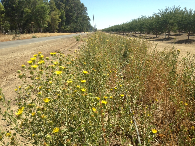 Gumplant next to almonds, Yolo County, August 2016.