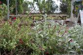An example of pollinator-friendly plants at the Haagen-Dazs Honey Bee Haven Garden located at the UC Davis campus. (Photo : Evett Kilmartin ©UC Regents)
