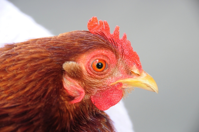 Closeup of a chocolate red cochin bantam, a 4-H pet. (Photo by Kathy Keatley Garvey)