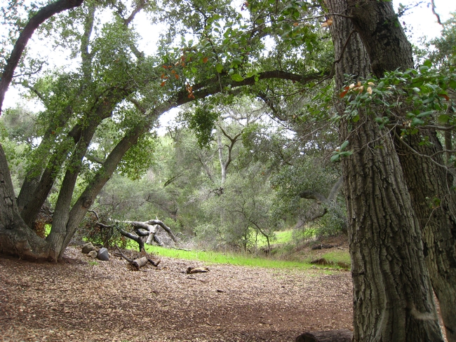 Oak woodland forests have moderate to high capacity to adapt to climate change. (Photo: Stephanie Drill)