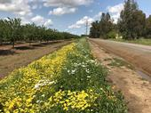 Wildflower planting next to almonds, Yolo Co, 2017.